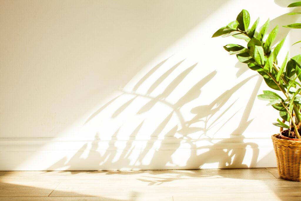 ZZ Plant Houseplant