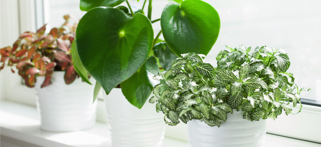 houseplants on window easy to care for money plant