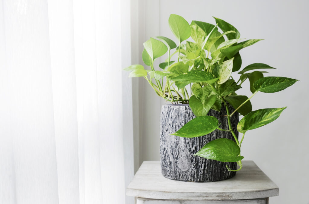 Devil's Ivy or Golden Pothos Plant